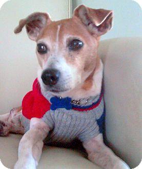 Jack Russell Terrier Dog for adoption in Sarasota, Florida - Jake