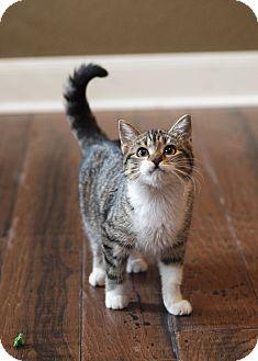 Domestic Shorthair Kitten for adoption in Houston, Texas - Portia
