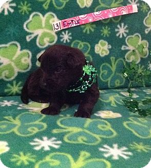 Labrador Retriever/German Shepherd Dog Mix Puppy for adoption in Milan, Michigan - Emily