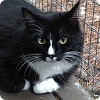 Adopt A Pet :: Purrcilla - Monroe, GA