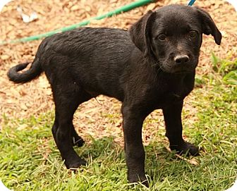 Labrador Retriever Mix Puppy for adoption in Plainfield, Connecticut - Ferdinand (CD)