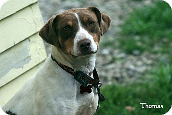 Pointer/Jack Russell Terrier Mix Dog for adoption in Salamanca, New York - Thomas