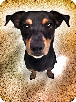 Dachshund/Miniature Pinscher Mix Dog for adoption in Phoenix, Arizona - Zeek