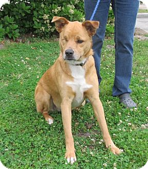 Basenji/Shepherd (Unknown Type) Mix Dog for adoption in Vancouver, British Columbia - Lilly