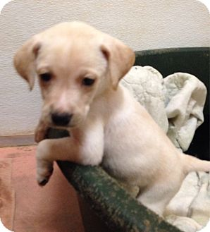 Pointer Mix Puppy for adoption in Columbia, South Carolina - Rudy