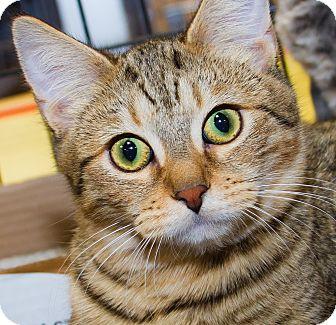 Domestic Shorthair Kitten for adoption in Irvine, California - Taylor