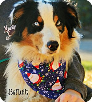 Australian Shepherd Mix Dog for adoption in New Orleans, Louisiana - Benoit