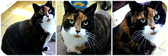 Calico Cat for adoption in Forked River, New Jersey - Tom
