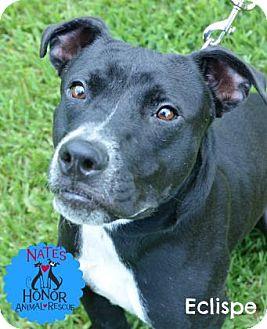 American Bulldog Mix Dog for adoption in Bradenton, Florida - Eclipse