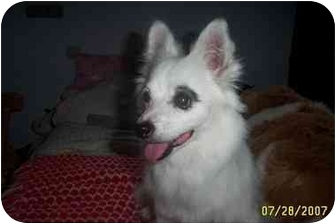 American Eskimo Dog/Papillon Mix Dog for adoption in chandler, Arizona - Bandit