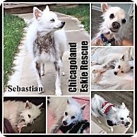 Adopt A Pet :: Sebastian - Elmhurst, IL