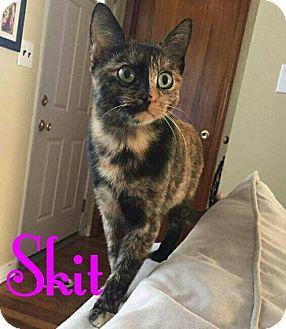 Domestic Shorthair Cat for adoption in Flushing, New York - Skit