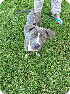 Pit Bull Terrier Mix Puppy for adoption in Loxahatchee, Florida - Harper - Pawsitive Direction