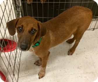Hound (Unknown Type) Mix Puppy for adoption in East Hartford, Connecticut - daisy 3 in CT