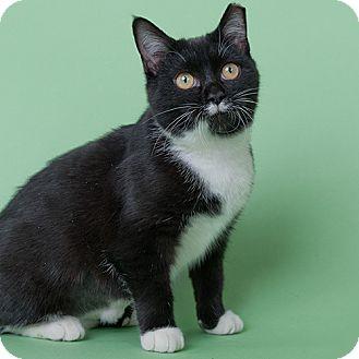 Domestic Shorthair Kitten for adoption in Wilmington, Delaware - Natalie