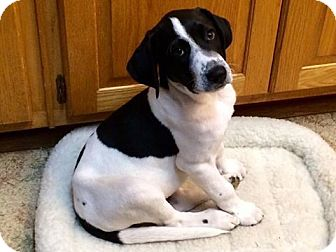 Labrador Retriever/Hound (Unknown Type) Mix Puppy for adoption in Greenville, South Carolina - Dylan