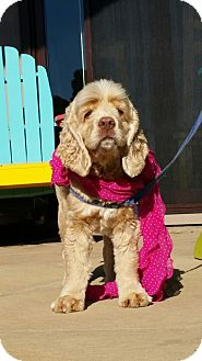 Cocker Spaniel Dog for adoption in Santa Barbara, California - Daisy