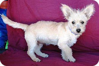 Terrier (Unknown Type, Medium)/Poodle (Miniature) Mix Puppy for adoption in Gilbert, Arizona - Grigio