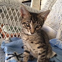 American Shorthair Kitten for adoption in Metairie, Louisiana - Cooper