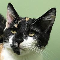 Domestic Mediumhair Cat for adoption in Auburn, California - Bernice