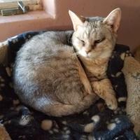 Egyptian Mau/Domestic Shorthair Mix Cat for adoption in Tucson, Arizona - Sandie