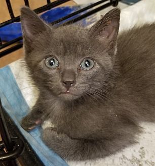 Domestic Shorthair Kitten for adoption in Forest Hills, New York - Nelson