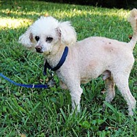 Adopt A Pet :: BUDDY POODLE - Franklin, TN