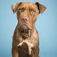 Adopt A Pet :: ANGELO - Phoenix, AZ
