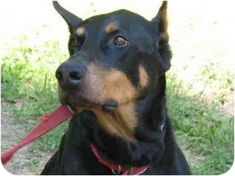 Doberman Pinscher Dog for adoption in Arlington, Virginia - Oz