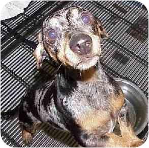 Dachshund Mix Dog for adoption in Avon, New York - Sterling