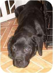 Labrador Retriever Mix Puppy for adoption in Shelton, Connecticut - Mellie