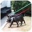 Photo 2 - Pointer/Labrador Retriever Mix Puppy for adoption in Macon, Georgia - Lizzie