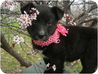 Beagle/Labrador Retriever Mix Puppy for adoption in Hartford, Connecticut - Pansey