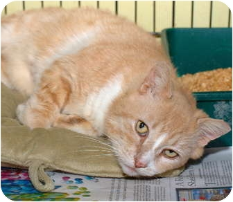 Domestic Shorthair Cat for adoption in Brooklyn, New York - Sunny Boy