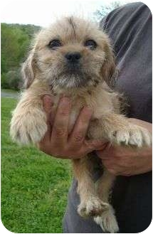 Shih Tzu Mix Puppy for adoption in Windham, New Hampshire - Mason