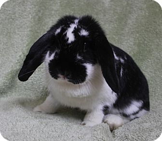 Lop, French for adoption in Franklin, Tennessee - Pippa