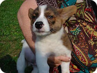 "Corgi Mix Puppy for adoption in Afton, Tennessee - Corgi Pup 3  ""Moe"""