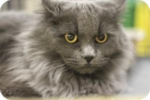 Maine Coon Cat for adoption in Sacramento, California - Misty
