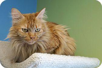 Domestic Longhair Cat for adoption in Chicago, Illinois - Faldo