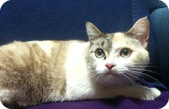 Domestic Shorthair Cat for adoption in Jackson, Michigan - Roxie