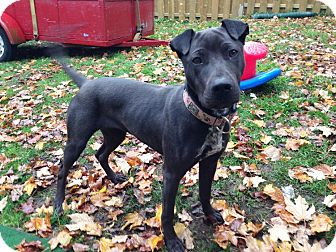 Shar Pei Mix Puppy for adoption in Caledon, Ontario - Sophie