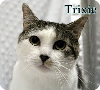 Domestic Shorthair Cat for adoption in Charlotte, North Carolina - A.. Trixie