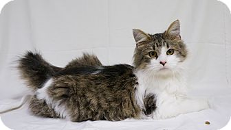 Domestic Mediumhair Cat for adoption in Murphysboro, Illinois - Slyvester