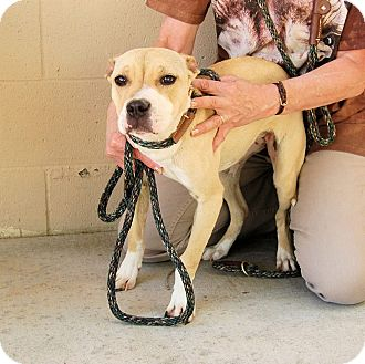 Boxer/Terrier (Unknown Type, Medium) Mix Dog for adoption in Red Bluff, California - REBA