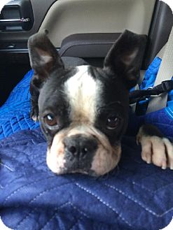 Boston Terrier Dog for adoption in Various Locations, Florida - Sam Lee FL-PIN