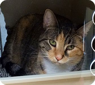 Domestic Shorthair Cat for adoption in Brooklyn, New York - Daisy - Adopted JAN2015