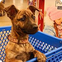 Adopt A Pet :: Bella - Tucson, AZ