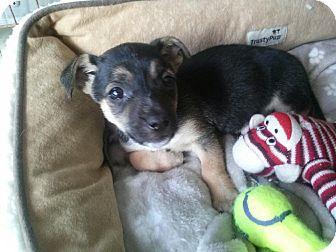 Terrier (Unknown Type, Small) Mix Puppy for adoption in Morgantown, West Virginia - Antonio