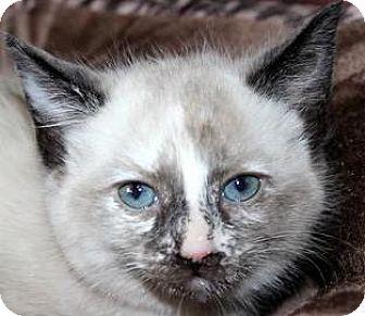 Domestic Mediumhair Kitten for adoption in Cincinnati, Ohio - Carly