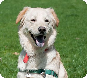 Golden Retriever Mix Dog for adoption in Irwin, Pennsylvania - Simba